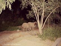 victory_sheep